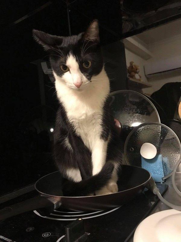 ▲網友蔡小姐養的賓士貓「飯糰」是一隻怪癖很多的貓咪,日前因為一張奇異折手手的照片而爆紅(圖/粉專蔡小姐的貓授權提供)