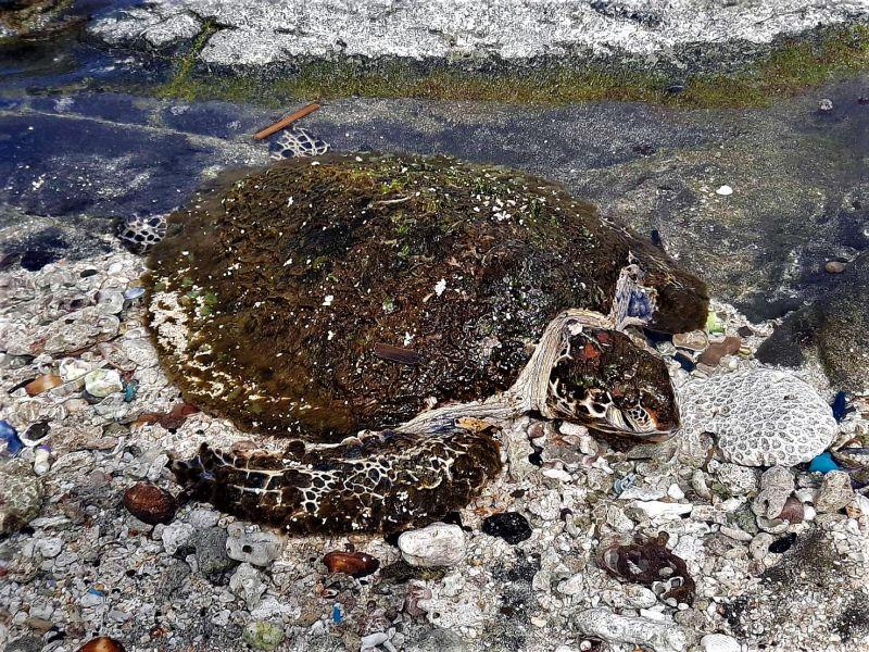 ▲龍門後灣沙灘有民眾發現2隻海龜,其中1隻綠蠵龜擱淺在海草、海廢垃圾中奄奄一息,另1隻死亡玳瑁屍體腐爛多時。(圖/澎湖岸巡隊提供)
