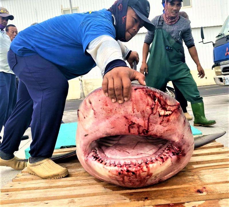 生態變異?公牛鯊闖澎二崁箱網遭獵殺引關注