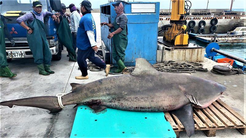 ▲幾位外勞漁工將網具收攏成功獵殺大鯊魚,經將鯊魚屍體吊掛上岸後,漁業專家研判是一隻低鰭真鯊(公牛鯊)。(圖/民眾提供)
