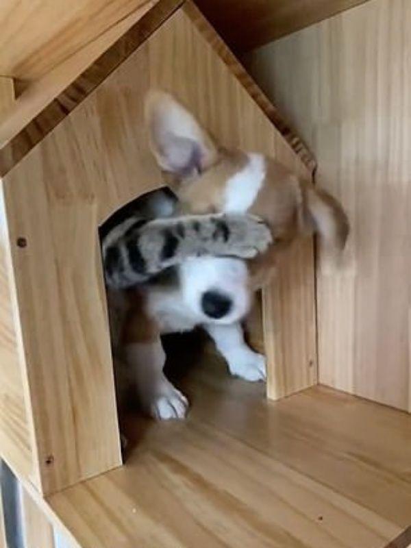 ▲貓:給我擠回來!(圖/douyin@danjuan124)