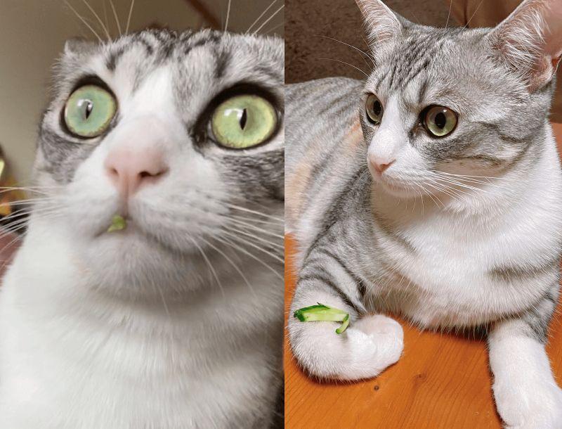 ▲日本一隻傻貓偷吃生菜被主人當場抓包(圖/Twitter@airi_____)