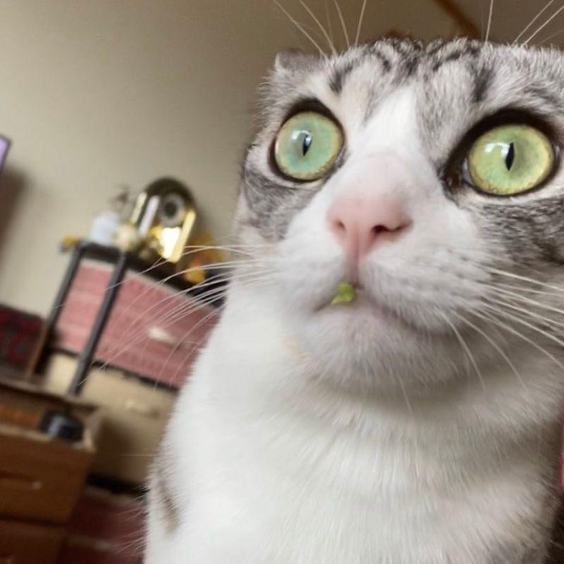 ▲推主家的貓偷吃、菜還黏在嘴邊,當場被抓包!(圖/Twitter@airi_____)