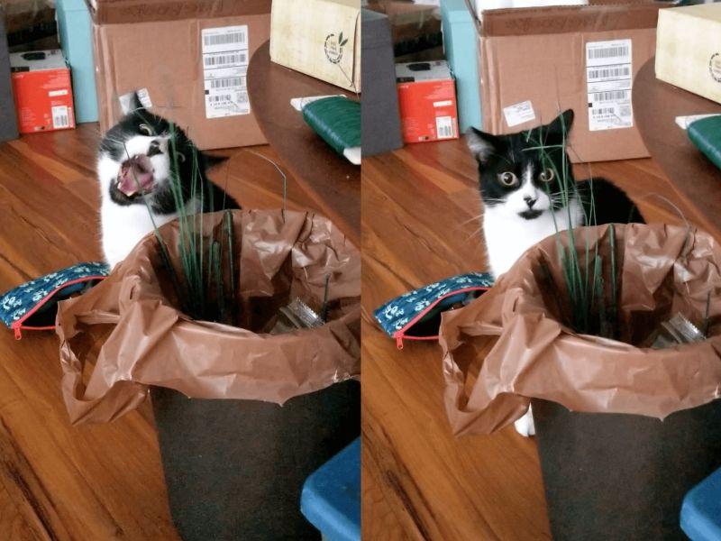 國外一隻賓士貓啃到假的貓草,令牠臉色大變!(圖/Twitter@cryoflower)