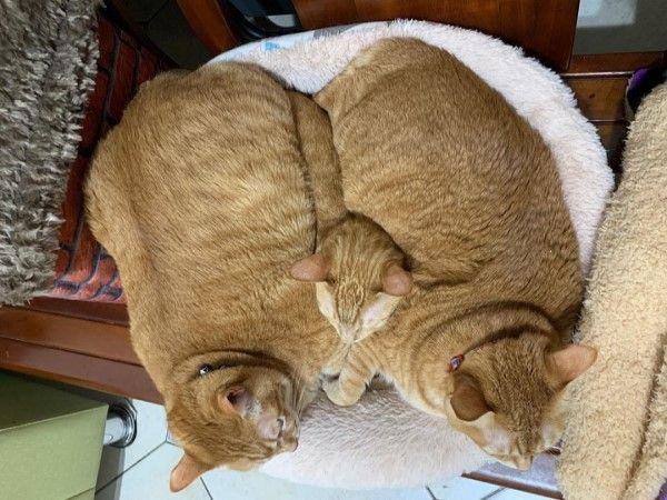 ▲年初時天氣寒冷,寶寶與乖乖擠在同一張貓窩,中間卻多出一顆小貓頭!(圖/粉專胖寶胖乖-肥貓們的世界授權提供)