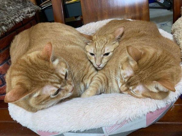 ▲弟弟(中間):窩在這裡取暖最好惹!(圖/粉專胖寶胖乖-肥貓們的世界授權提供)