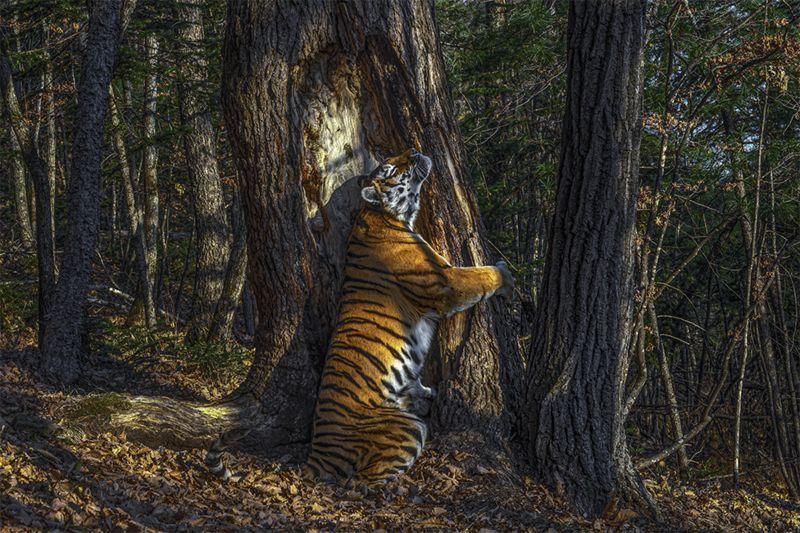 2020野生動物攝影獎揭曉!隱藏相機拍下「抱樹<b>老虎</b>」奪冠