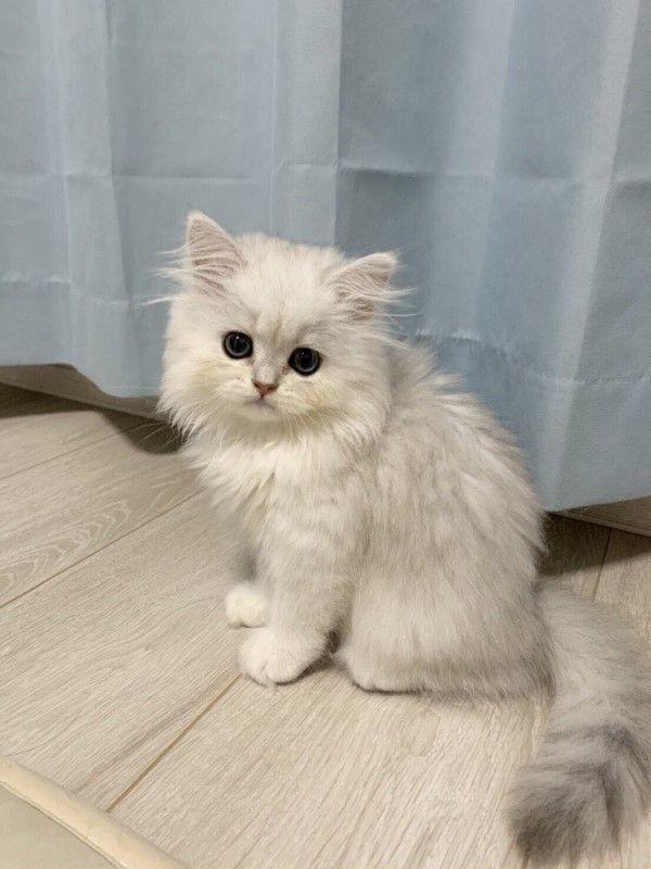 ▲波斯貓「小梅」擁有一身漂亮的長毛,日前卻意外變成「超級賽亞貓」(圖/twitter@kotechan0405)