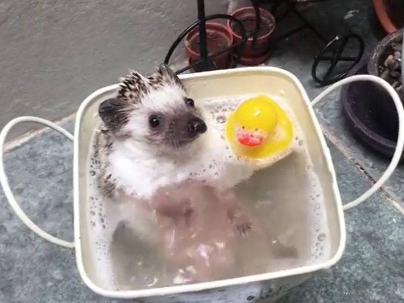 奴才妙解「厭澡症」 刺蝟寶寶:終於可以安心洗香香了~