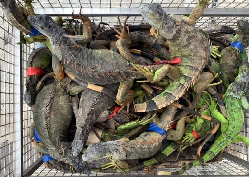 ▲屏東縣的綠鬣蜥去年抓了4,182隻,今年截至九月底就抓了5480隻。(圖/屏東縣政府提供,