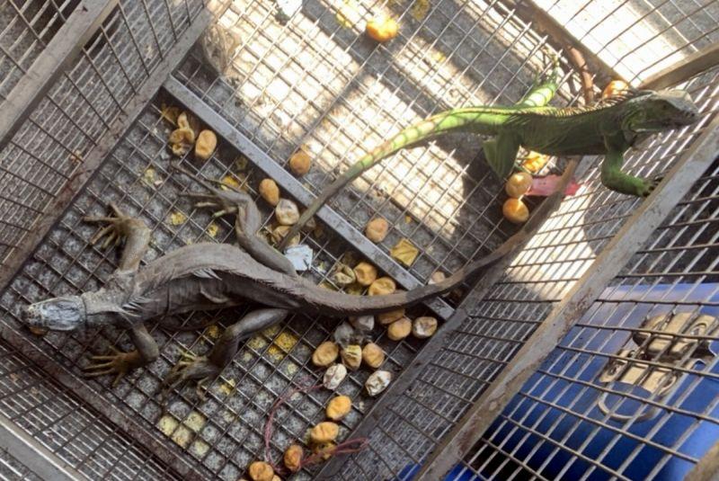 ▲縣府農業處提醒目前飼養或持有綠鬣蜥的民眾,在11月30日前向農業處辦理登記,逾期未登記者最高可處5萬元罰鍰。(圖/屏東縣政府提供,