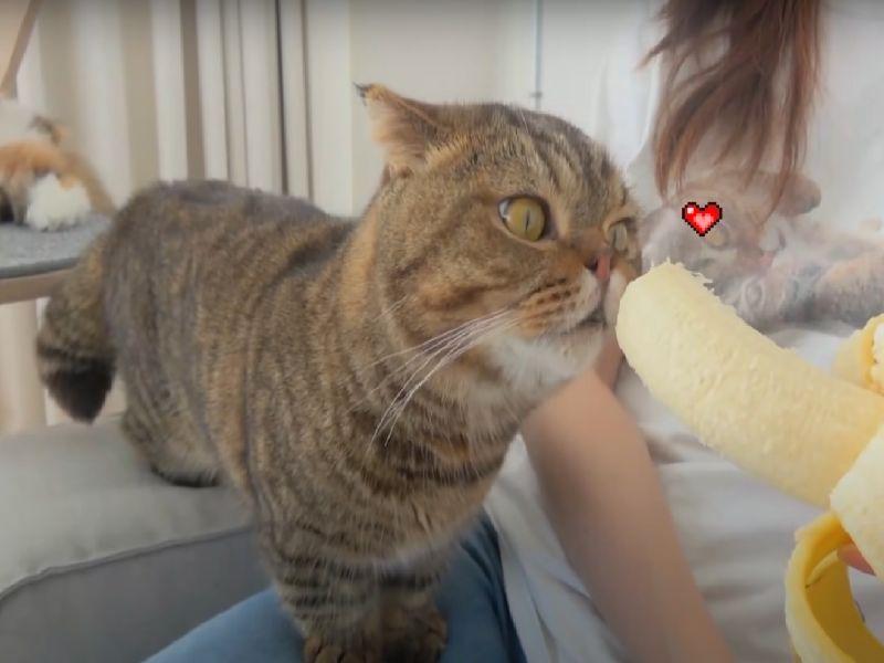 「怪癖貓」見香蕉秒變吃貨 張嘴狂咬:香蕉在哪偶在哪