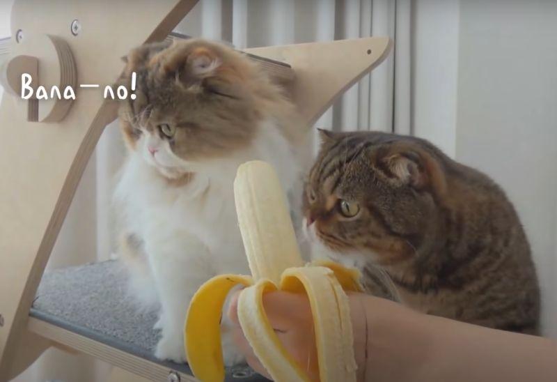 ▲其他貓貓對香蕉一點興趣都沒有~(圖/Youtube@Kittisaurus)