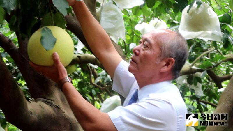 ▲蔡文琳指出,二水鄉有「白柚的故鄉」之稱,每年在節氣「霜降」後進入產季。(圖/記者陳雅芳攝,2020.10.26)