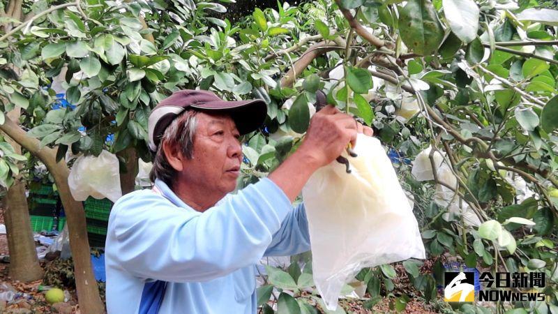 ▲白柚達人陳永棠將二水鄉白柚外銷到日本。(圖/記者陳雅芳攝,2020.10.26)