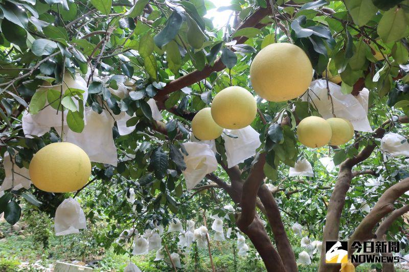 影/柚子當孩子養 二水鄉白柚外銷到日本