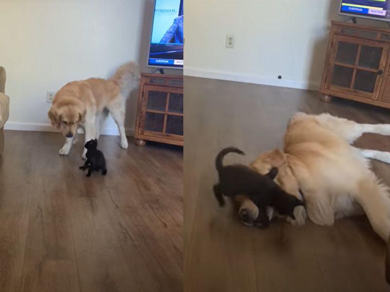 貪玩小黑貓找大狗比試一下,暖金故意趴地投降!(圖 /翻攝自Youtube@ViralHog)