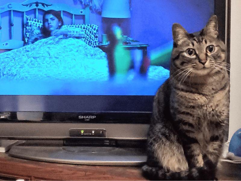 日本一名推主正在看恐怖片,沒想到虎斑貓下秒擋電視。(圖/Twitter@yamayu_ggh)