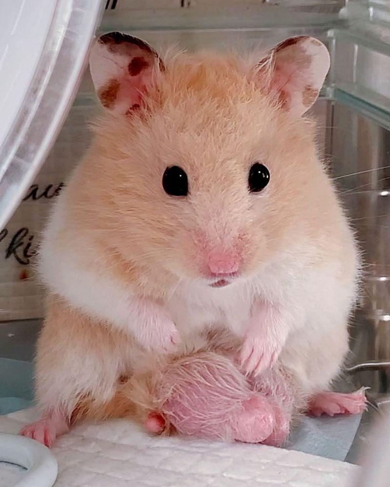 ▲嗨囉~這是我珍藏的蛋蛋!(圖/Instagram@narupopomogukurumi.hamster)