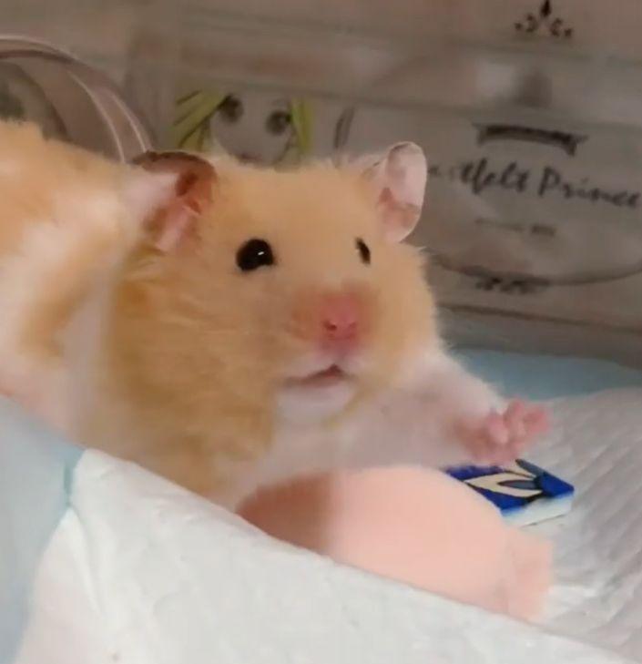 ▲跟大家說:哈囉~(圖/Instagram@narupopomogukurumi.hamster)