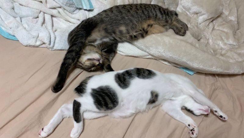 ▲兩隻貓很愛打打鬧鬧,但不影響雙方好感情(圖/Twitter@22mero_rin22)