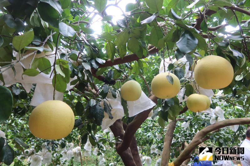 ▲花壇所產的西施柚口感、水分、甜度、Q度,再搭配視覺上粉嫩粉嫩的果肉,一口接一口。(圖/記者陳雅芳攝,2020.10.28)