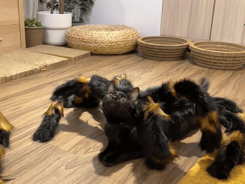 這是新品種蜘蛛貓?恐怖到了極點呢!(圖/春夏啾咚 Kitty Go Round授權)