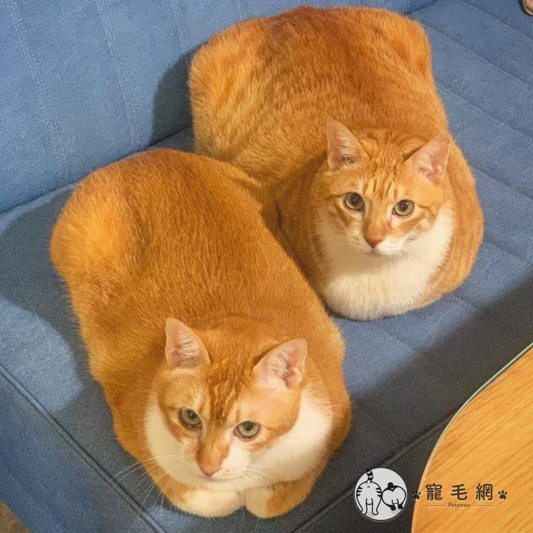 ▲這對橘貓兄弟檔叫大斑、小斑。(圖/大斑小斑授權提供)