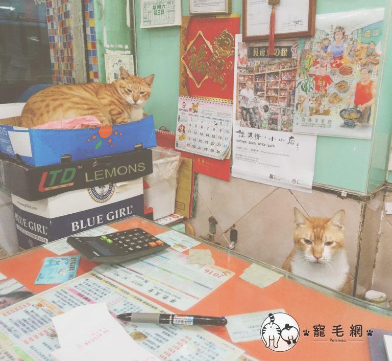 ▲橘貓兄弟乖乖在茶餐廳當店長(圖/大斑小斑授權提供)