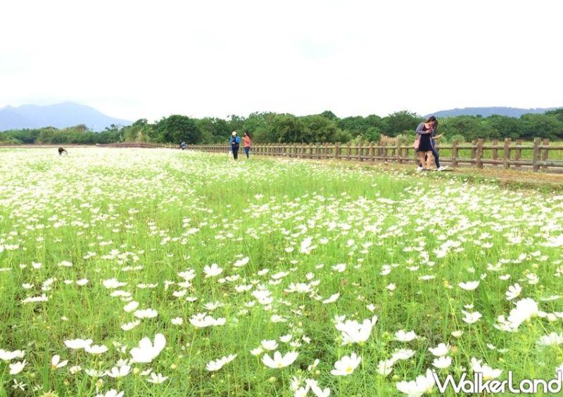 ▲總面積約4.38公頃的「關渡秘境花海」,種植了大量的大波斯菊、黃波斯菊、大百日草及向日葵