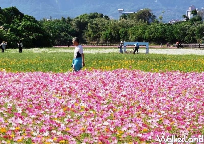 總面積約4.38公頃的「關渡秘境花海」,種植了大量的大波斯菊、黃波斯菊、大百日草及向日葵 (圖|臺北市政府工務局/TaipeiWalker)