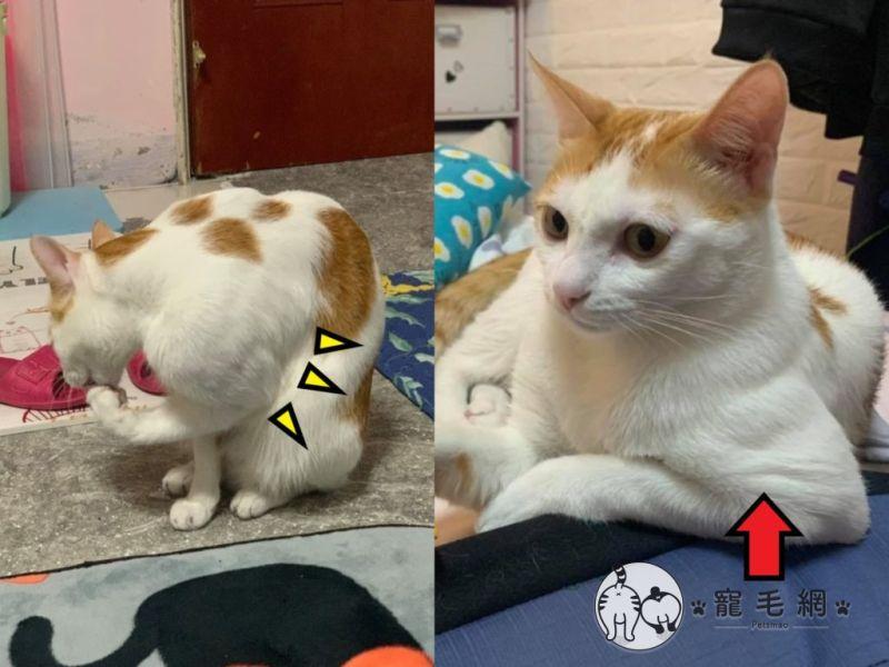 ▲橘白貓「小五」擁有強壯的二頭肌,被網友封為「喵館長」(圖/網友簡浩子授權提供)
