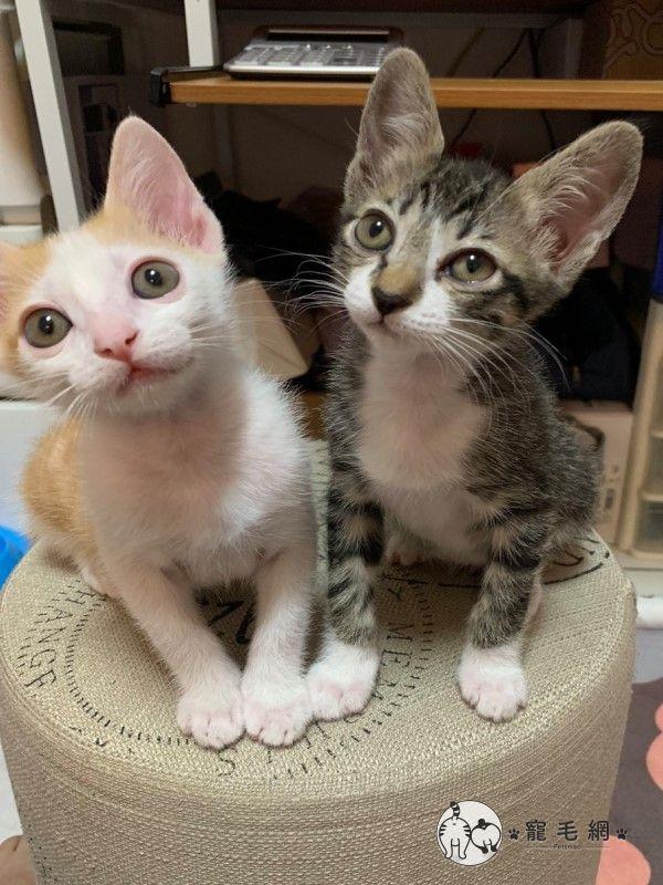 ▲小五與妹妹「77」是簡先生一起收編的小貓,曾經罹患貓瘟但幸運地存活下來(圖/網友簡浩子授權提供)