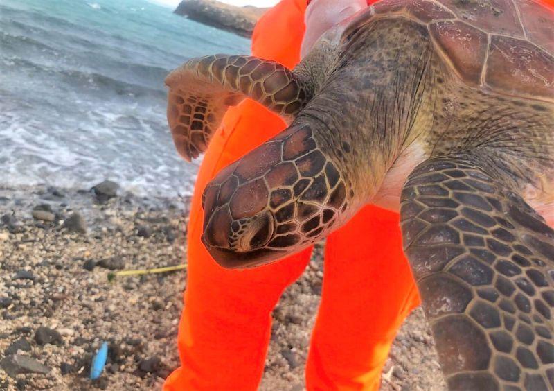 ▲研判三隻海龜均為二級保育類綠蠵龜,其中活體海龜生命特徵良好,由保育科人員先行帶回水試所觀察。(圖/澎湖岸巡隊提供)