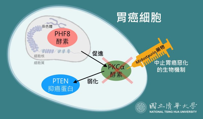 ▲清大研究團隊利用大數據從3萬多種可能性中找到了癌症惡化的生物機制,關鍵就在兩種酵素PHF8及PKCα。(圖由清大提供)