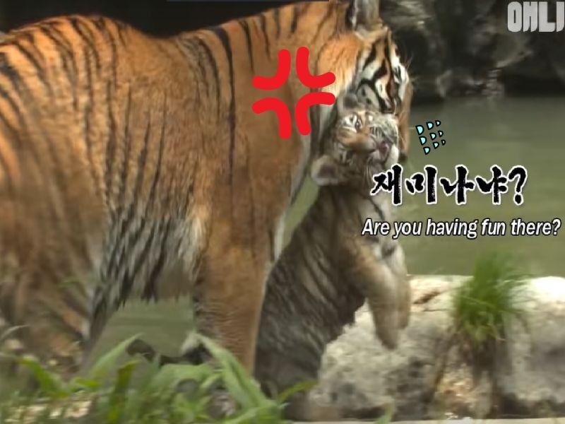 好奇虎寶「趴趴造」!憂慮虎媽跟牢牢!(圖/Youtube@SBS TV동물농장x)