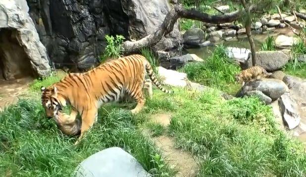 ▲聽到小老虎的哀號,虎媽媽趕緊出動救援!(圖/Youtube@SBS