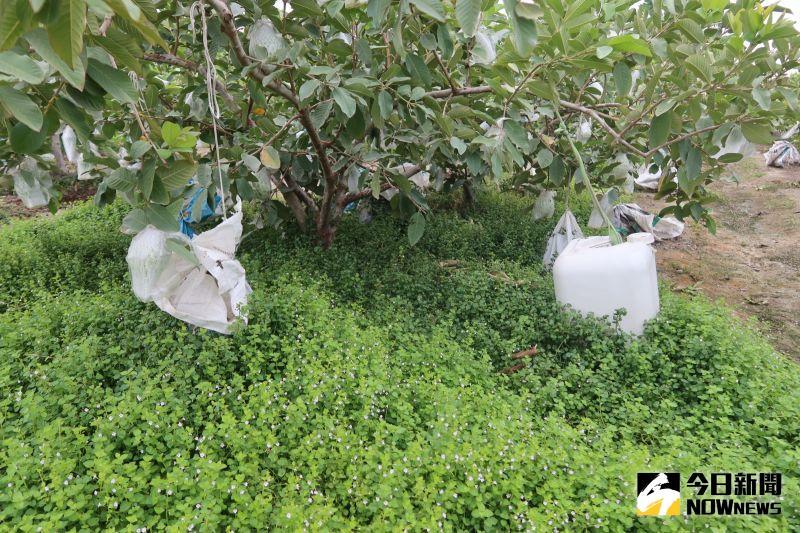 ▲融梨芭樂園園主是青農鄭豊融說,有將近5分半的面積全部採取草生栽培、絕不噴灑除草劑,秉持友善農業的理念。(圖/記者陳雅芳攝,2020.11.04)