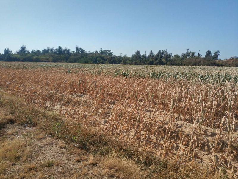 金門今年降雨量僅有446.5公厘,各鄉鎮農損嚴重