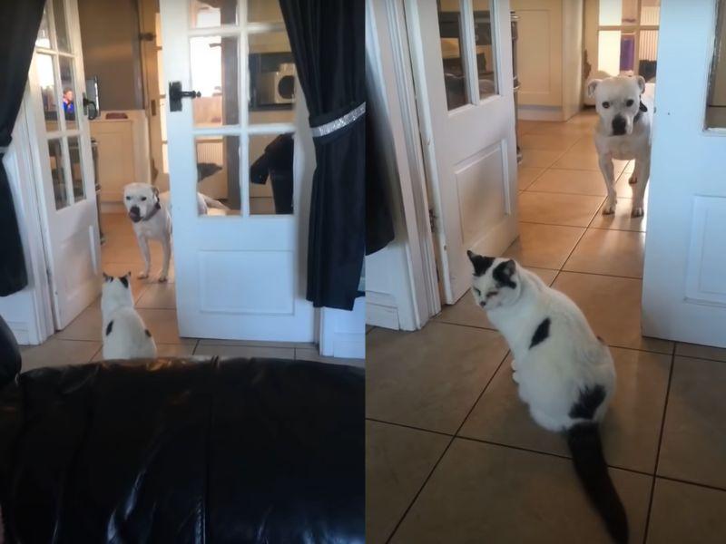 「路霸貓」坐門口不讓大狗過 貓咪:「過路費先交粗乃!」