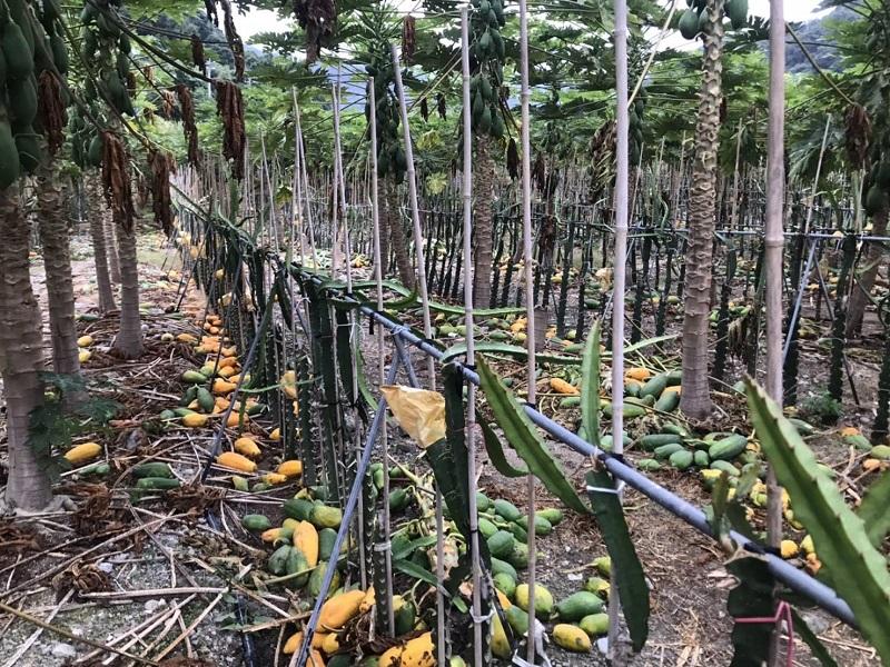 <b>大甲溪</b>畔種木瓜 數百棵木瓜遭歹徒利刃砍落