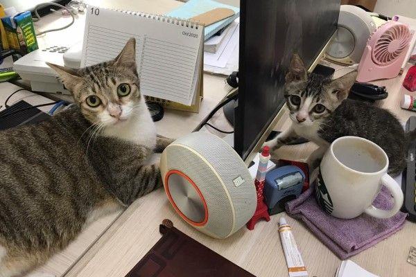 ▲Lucky恢復健康之後,跟貓哥哥一起擾亂奴才做事(圖/網友Joanne