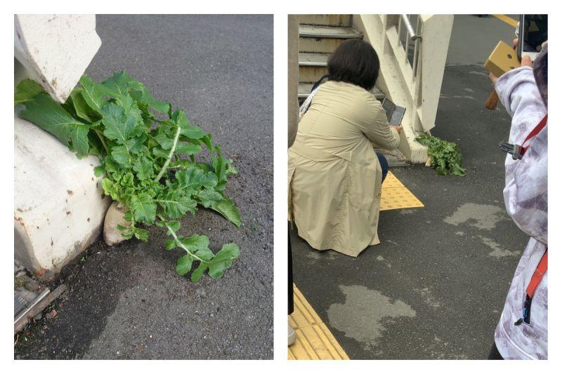▲日本大阪車站天橋旁的柏油路面破土而出一株蘿蔔,爆紅成為新景點。不過「頑強蘿蔔」隨後就被不知名人士拔掉,引發熱議。(圖/翻攝自推特)