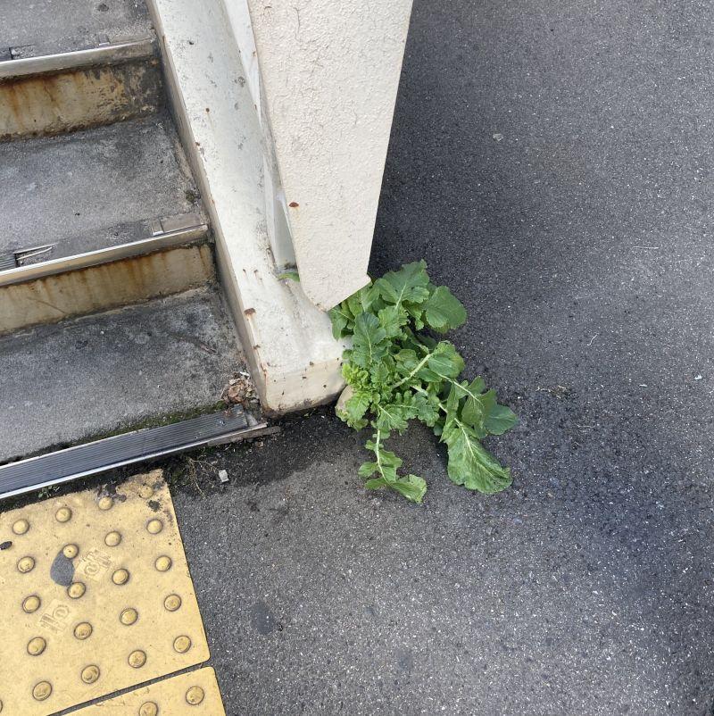 ▲日本大阪車站天橋旁的柏油路面破土而出一株蘿蔔。(圖/翻攝自推特)