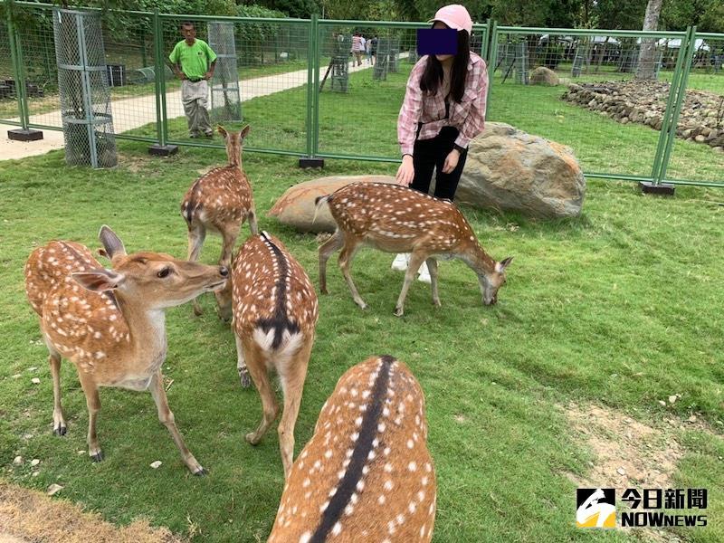 遊客可以到阿里山遊客中心後鹿園看梅花鹿。(圖/記者陳惲朋攝)