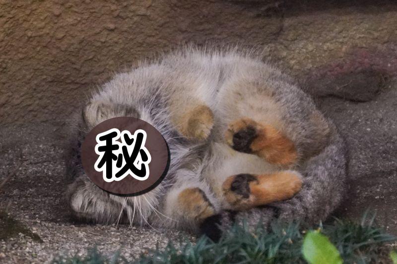 動物園出現一坨圓滾滾「謎樣胖球」 他:有出<b>抱枕</b>一定買