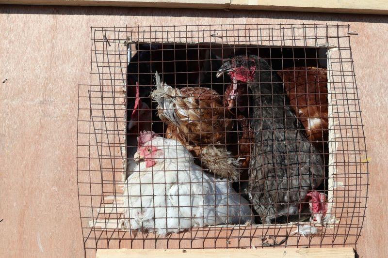 日本<b>第4縣</b>爆禽流感 宮崎縣養雞場撲殺4萬隻雞