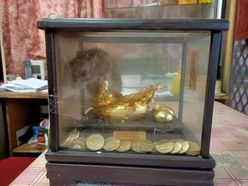 雞鼠同籠?女驚見招財箱出現「呆萌<b>巨鼠</b>」秒愣:來咬錢嗎