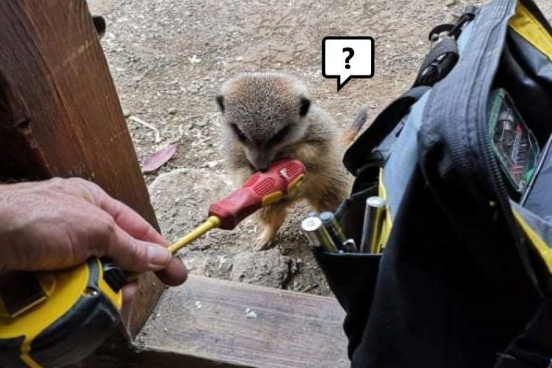 水電工到動物園工作 遇狐獴好奇「檢查」:我來幫忙!
