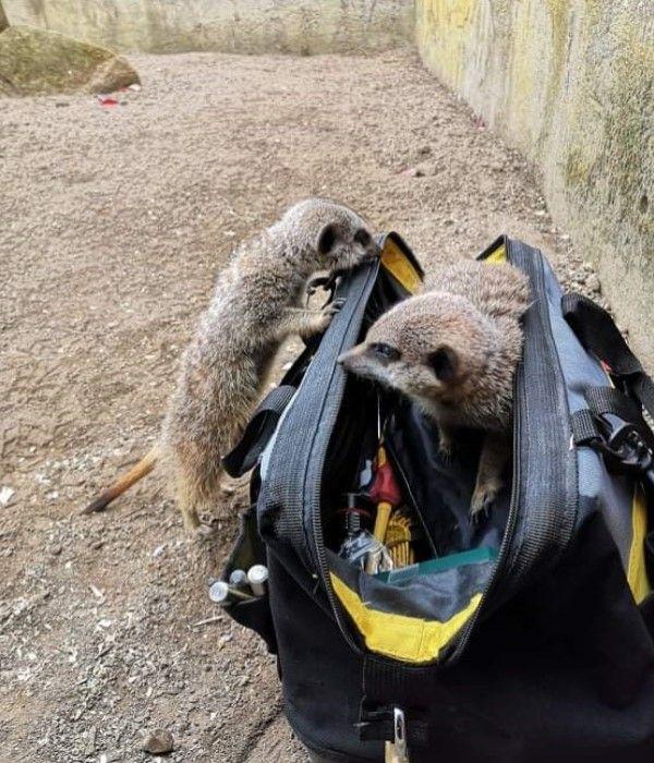 ▲推主露西的父親柯林到動物園狐獴區進行修繕時,被狐獴檢查工具袋,甚至很忙碌地在裡面竄來竄去(圖/twitter@doodlingglass)